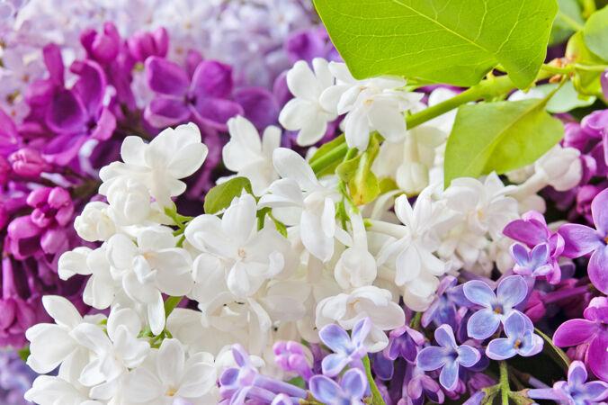 美丽的白色和紫色丁香背景