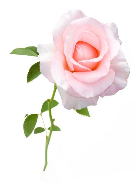美丽的粉红玫瑰隔离在白色背景上