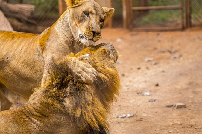 一头母狮在和一个成年人玩耍狮子拜访无保护或受伤的重要孤儿院肯尼亚动物!人 动物 大象 非洲 旅游 非洲 年轻 奶瓶 树干 大 救援 饲料 保留 牧群 可爱 注意