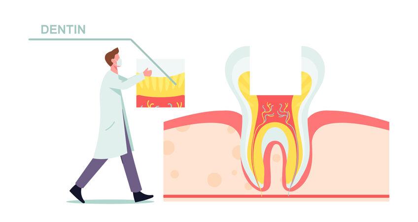 健康牙齿解剖与结构图解